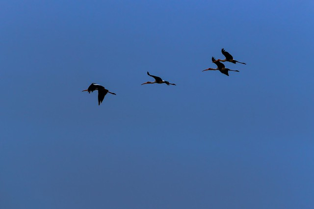 Flying Painted storks