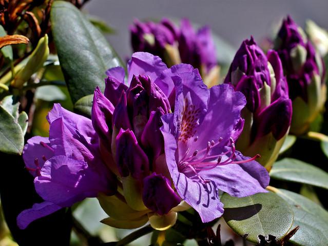 Blüte des Rhododendron 'Anatevka'