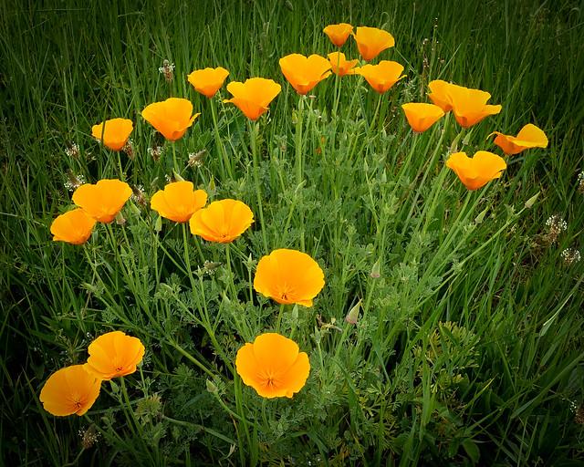 Pavot de Californie (Eschscholzia)