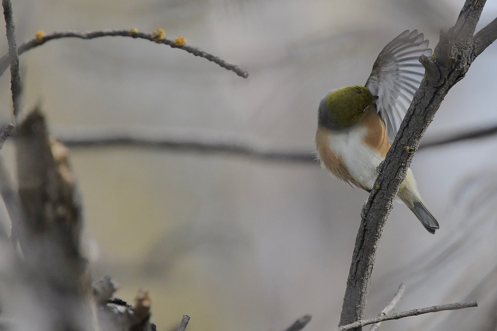 Silvereye  ( doing the washing )