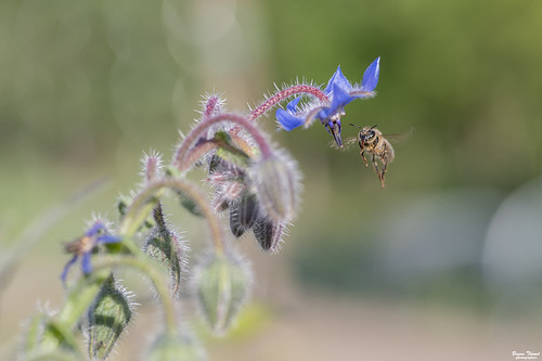 abeille et bourrache | by Bruno. T.