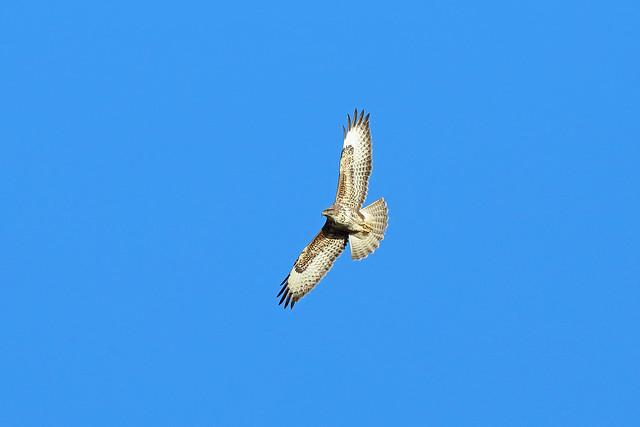 Common Buzzard, Argaty, Stirlingshire