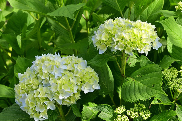 The hydrangea blooms in June.