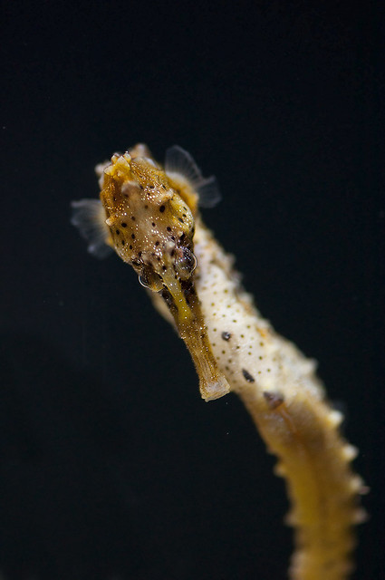 Hippocampus erectus - Lined Seahorse