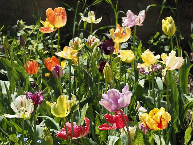 Tulipa Parrot Group
