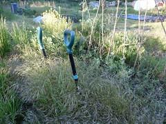 wild oat harvest