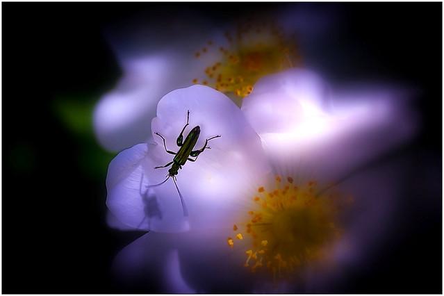 La Fleur D'églantier et L'Œdémère noble Mâle