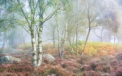 Birch, heather and bracken