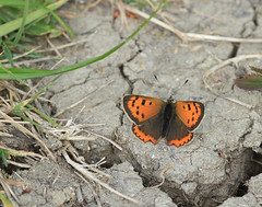 Small copper Histon 220419_2341