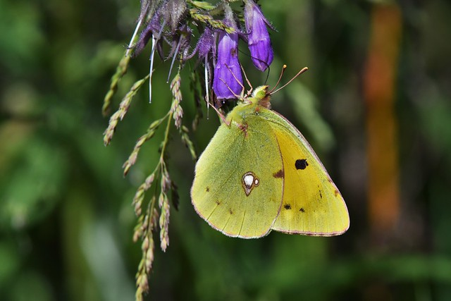 Souci - Colias crocea - Clouded yellow
