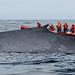Reise der Blauwale
