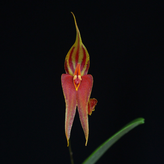 Lepanthes genetoapophantica