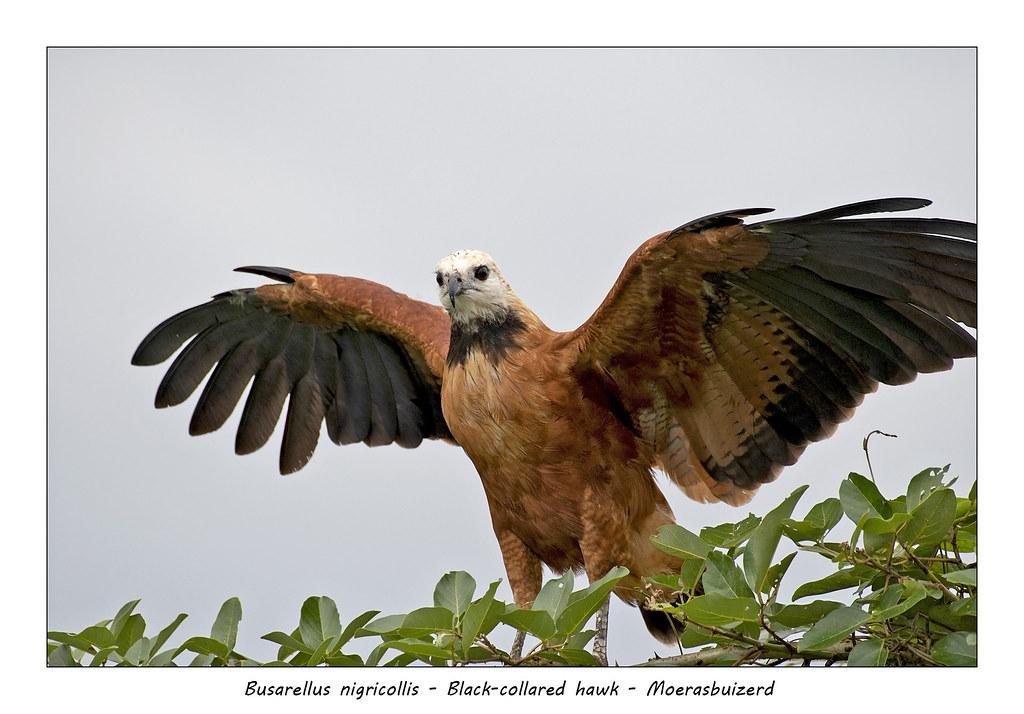 Black-colored hawk #3