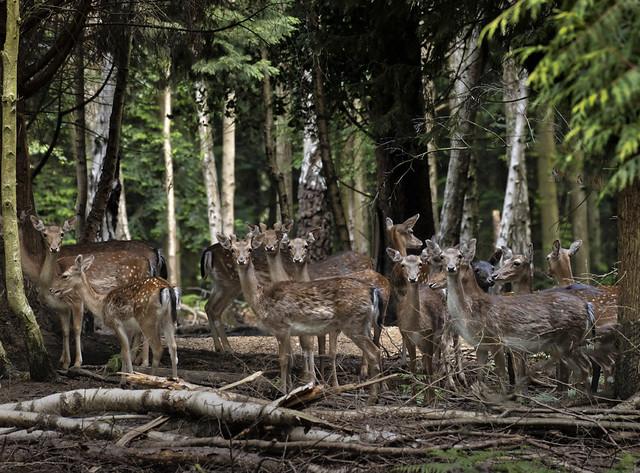 Fallow deer - May 2020