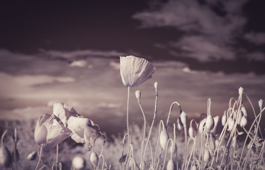 Infrared: Poppies