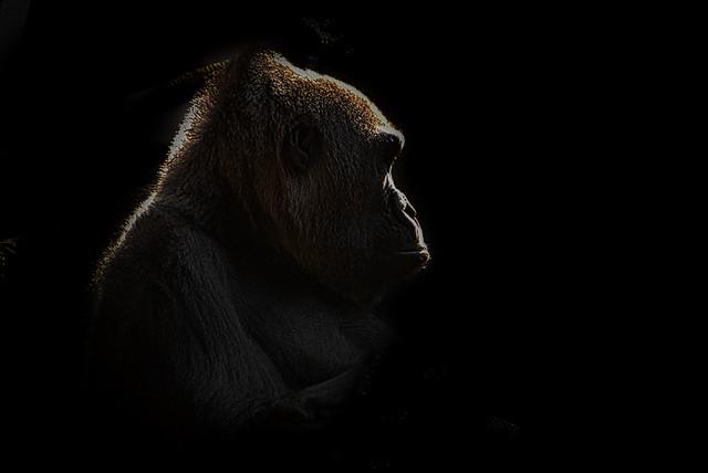 Gorilla in the Dark