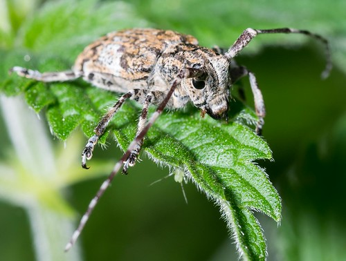 White-clouded Longhorn Beetle