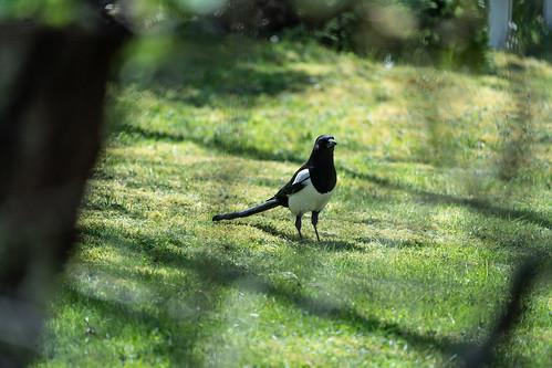 Mustavalkoinen Lintu