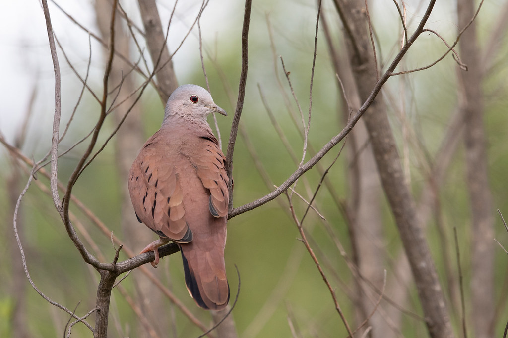 Ruddy Ground Dove (Columbina talpacoti)