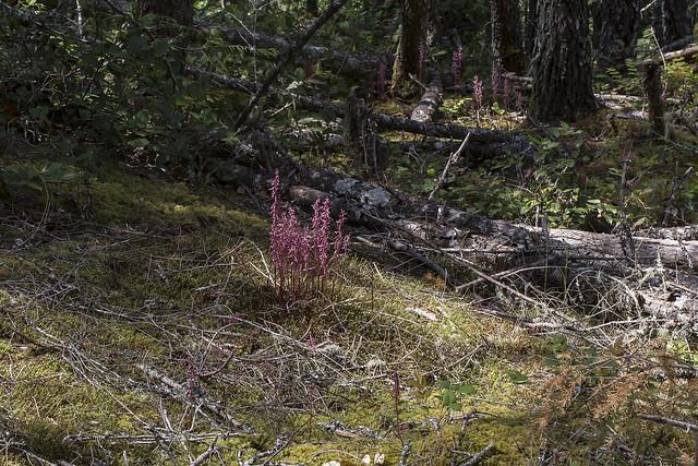 Corallorhiza mertensiana - many plants in habitat