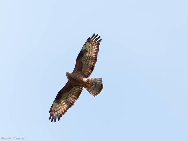 Falco pecchiaiolo - Honey buzzard