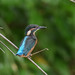 Kingfisher -202005231225.jpg