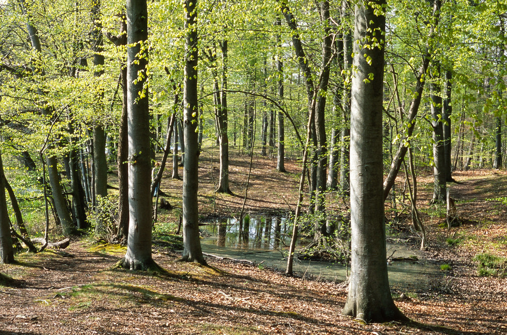 The beech wood in newly full leaf.