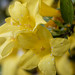 Springtime Jasmine