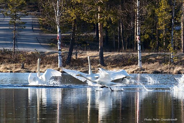 Whooper Swan!