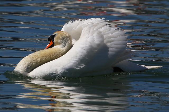 Territorial Disputes - Aggressive male Swan 'busking' at Hill Head Marina