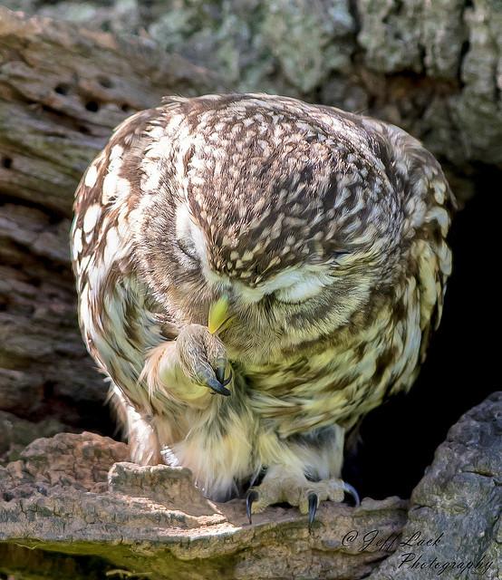 DSC3778  Little Owl...