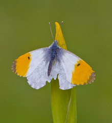 Orange - tip  Anthocharis cardamines by Ivan Lynas Nature Photography