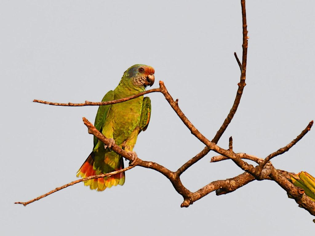 Red-tailed Parrot // Papagaio-de-cara-roxa