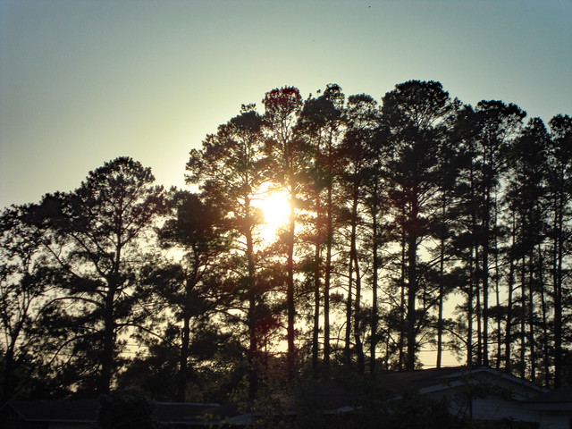 Sun Behind Tall Pine Trees.