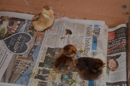 chicks May 20