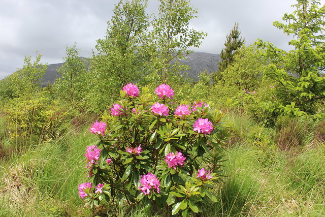 Rhododendron in bloom at Derryclare woods, Connemara, Co Galway, Ireland