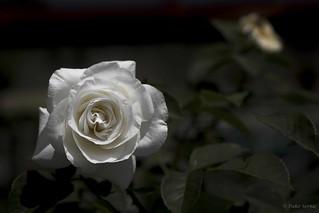 Rose in white