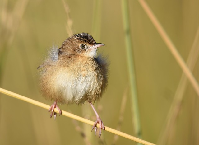 Fuínha-dos-juncos / Fan-tailed Warbler