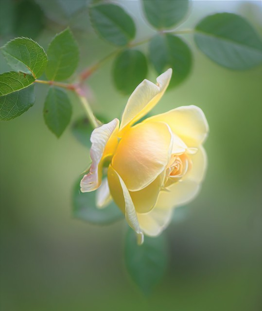 My Yellow Climbing Rose