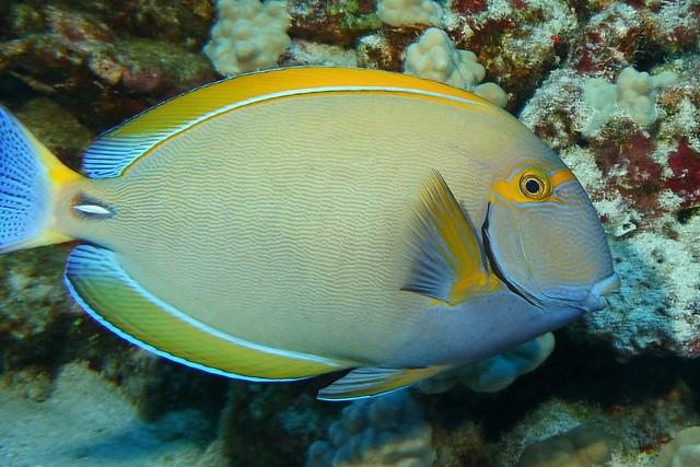 handsome surgeonfish