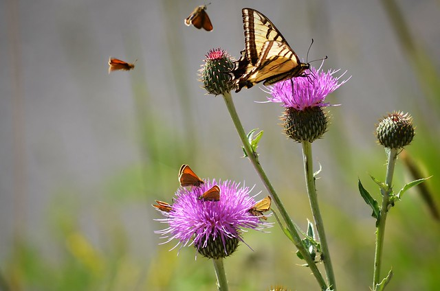 Butterflies on Musk Thistle