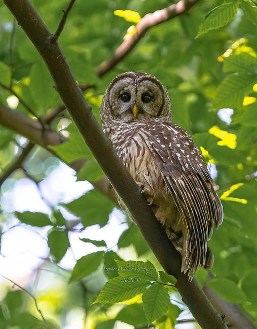 Barred Owl Maryland