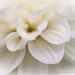 White Dahlia Petals, 7.5.15
