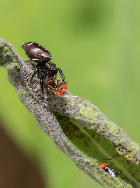 Bold Jumping Spider Enjoys a Four-Lined Plant Bug