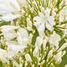 White Agapanthus, 5.22.20