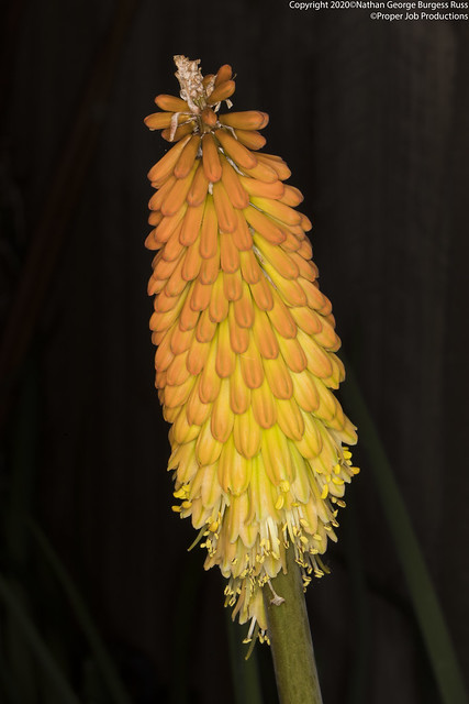 Red Hot Poker - (Kniphofia)