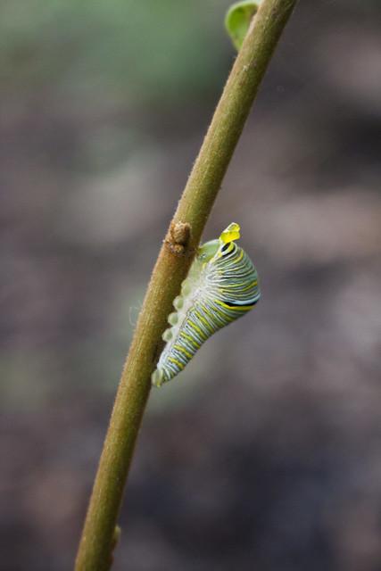 zebra swallowtail caterpillar