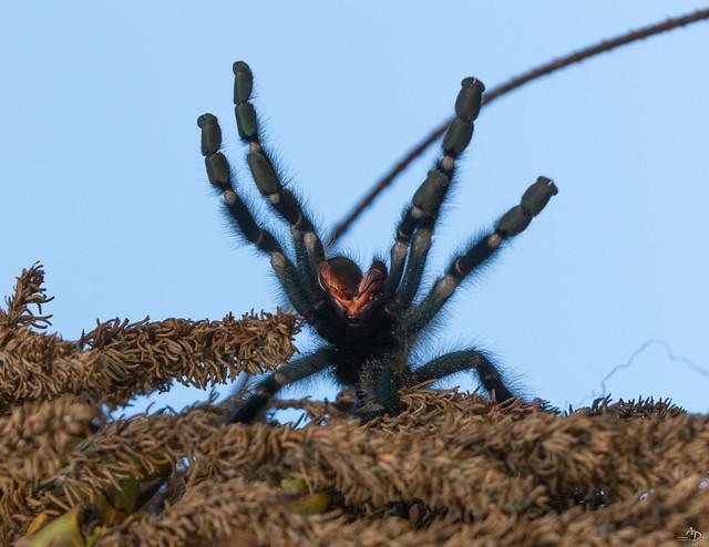 Mygale en colère