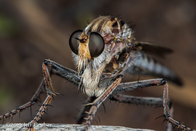 Robber Fly (Alcimus sp.)