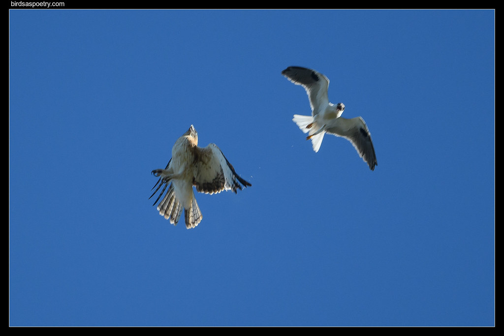 Black-shouldered Kite, Little Eagle, Standoff #2